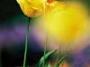 Tulpe gelb lila