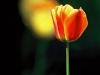 Tulpe rot gelb