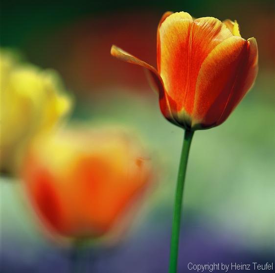 Tulpe Farbnuancen